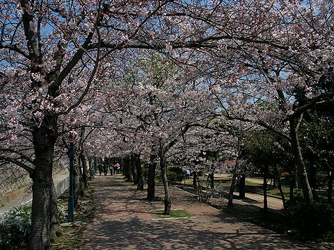 神戸の桜・妙法寺川公園の桜のトンネル