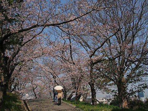 会下山公園 サクラのトンネル/神戸市の桜