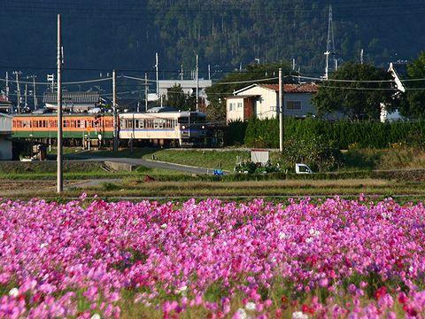コスモス畑とJR福知山線の電車/丹波市柏原町
