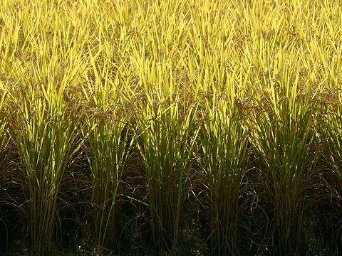 黄金色に輝く稲穂