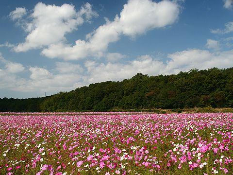 鴨池公園コスモス畑/小野市