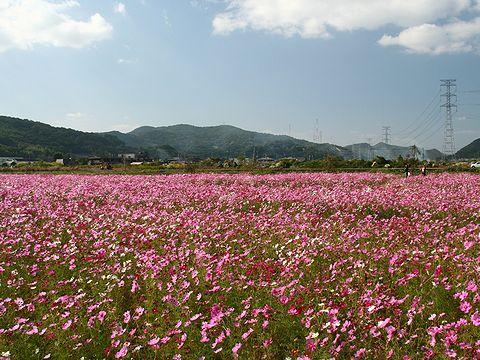 志方町コスモスの花畑/加古川市