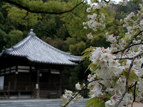 須磨寺公園・須磨寺の桜/神戸市の桜