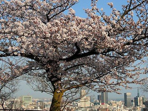 諏訪山公園・金星台の桜と展望台から見た神戸市街地の風景/神戸市の桜