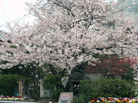 国玉街園の桜/神戸市の桜