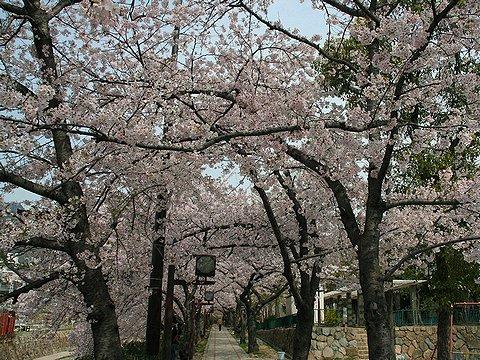 都賀川の桜並木・桜のトンネル