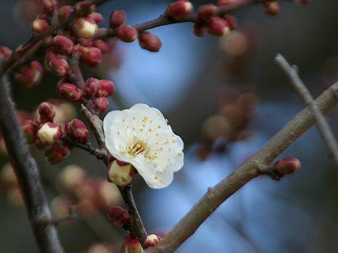 世界の梅公園全体でほんの数輪の梅が開花/たつの市御津町