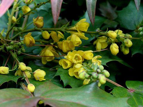 柊南天(ヒイラギナンテン)の花