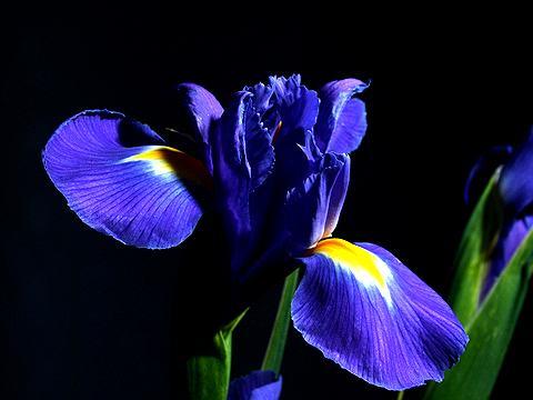 0アイリスの花(イリスの花)写真画像