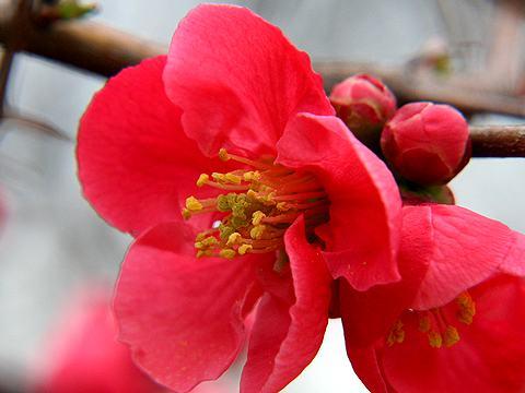 木瓜(ボケ)の花・写真画像