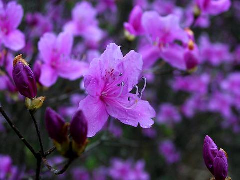 ミツバツツジの花・日岡山公園/加古川市
