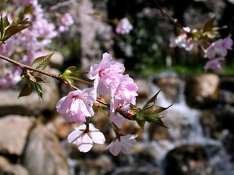 神戸の桜・岡本南公園(桜守公園)のササベザクラ/神戸市