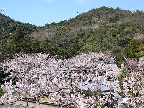 坂越船岡園の桜/赤穂市