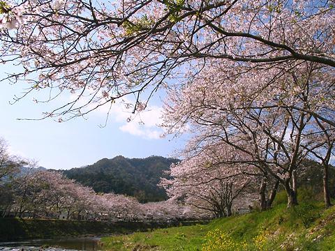新庄の桜並木・夢前川/姫路市