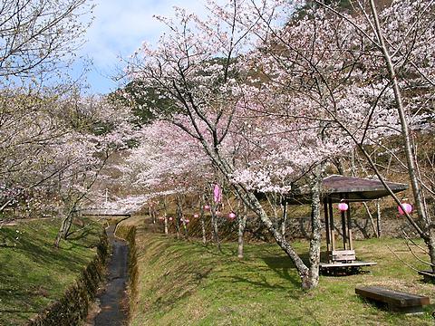 鐘ヶ坂公園の桜/丹波市