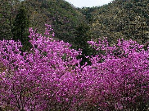 東山公園のコバノミツバツツジともみじの新緑