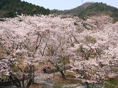 西林寺の桜/西脇市