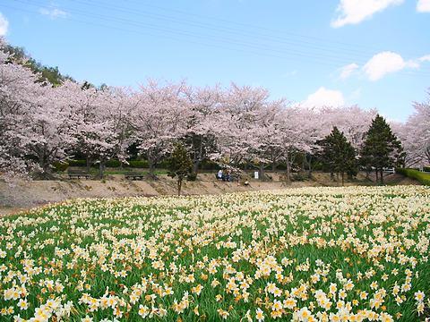 いこいの村播磨の桜並木と水仙の花/加西市