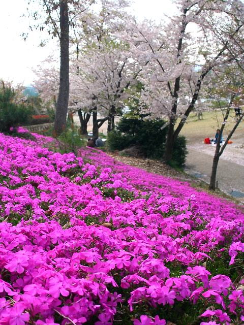 丸山公園の芝桜と桜/加西市