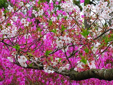 コバノミツバツツジと桜の花・広田神社/西宮市