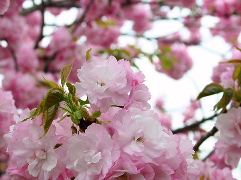 楊貴妃(ヨウキヒ・サトザクラ)/桜の花