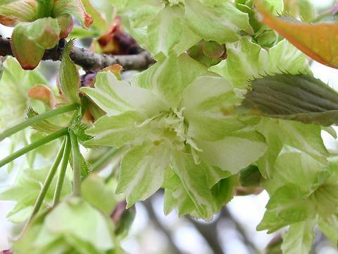 御衣黄(ギョイコウ・サトザクラ)/桜の花