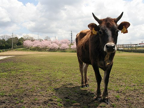 共進牛乳・共進牧場のジャージー乳牛の放牧