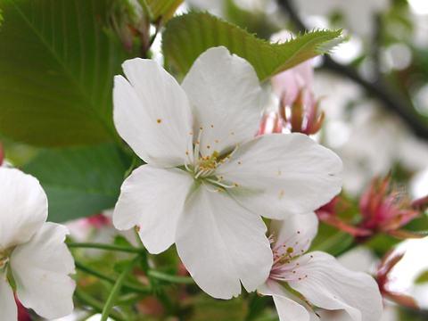 太白(タイハク・サトザクラ)/桜の花