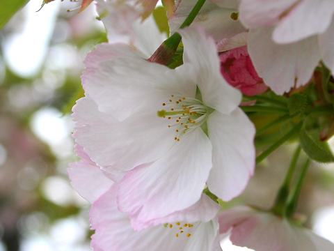 苔清水(コケシミズ・里桜)/桜の花
