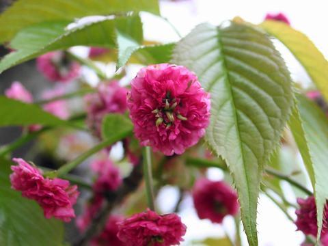 鬼無稚児(オニナシチゴ・里桜)/桜の花