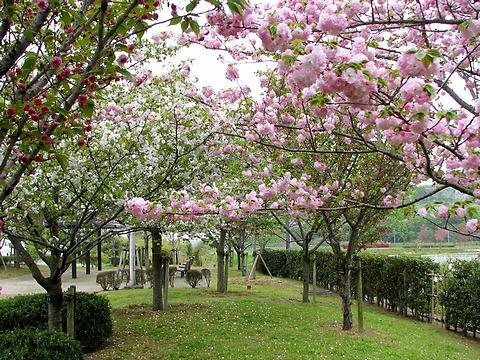 やなせ桜つづみ・八重桜の桜並木/小野市