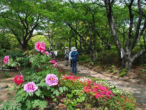 牡丹(ボタン)の花・千姫ぼたん園/姫路市