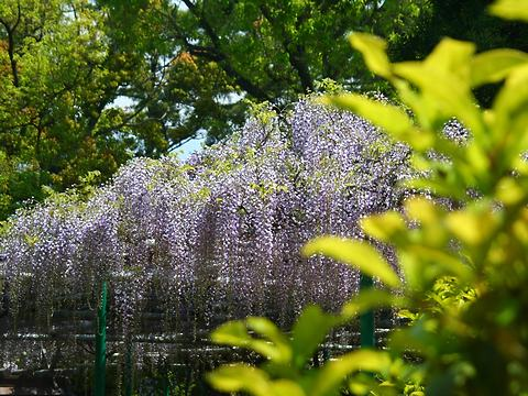 住吉神社の藤棚・藤の花/明石市