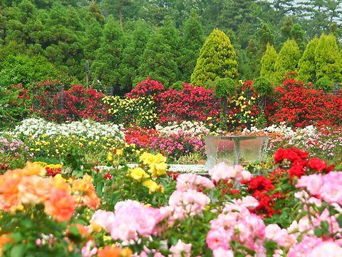播磨中央公園・四季の庭バラ園とバラの花/加東市