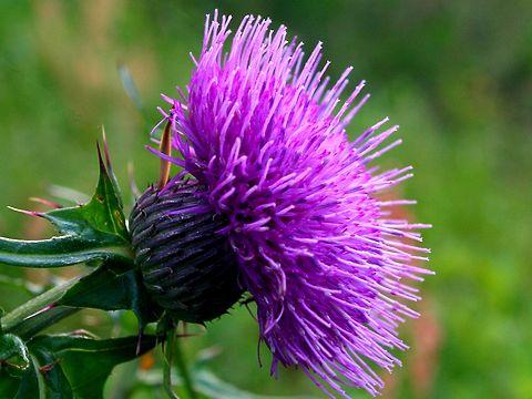 薊(アザミ)の花