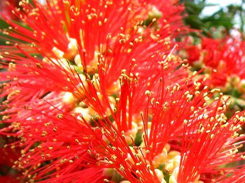 カリステモンの花