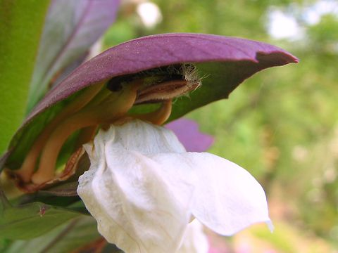 葉薊(ハアザミ)の花