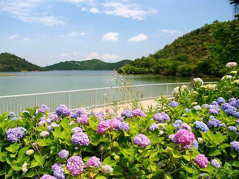 紫陽花(アジサイ)の花・平荘湖あじさい園/加古川市