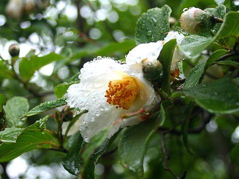 沙羅(サラ/夏椿・ナツツバキ)の花・神戸森林植物園/神戸市