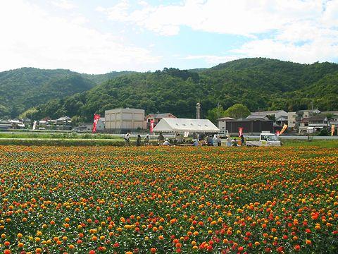 紅花まつりと紅花(ベニバナ)の花/たつの市揖保川町