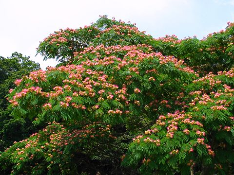 合歓(ネム)の花・合歓の木