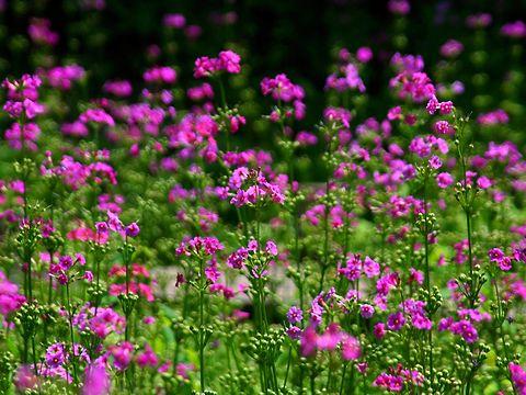 九輪草(クリンソウ)の花・六甲山高山植物/神戸市灘区六甲山町