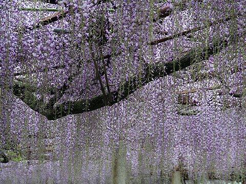 大歳神社の千年藤/宍粟市山崎町の藤棚と藤の花