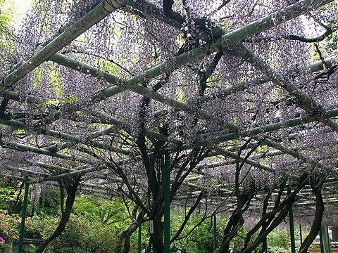 魚住・住吉神社の藤の花/明石市魚住町
