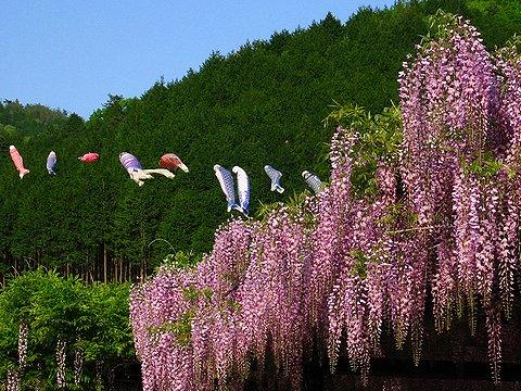 藤棚と鯉のぼり/白井大町藤公園・朝来市和田山町