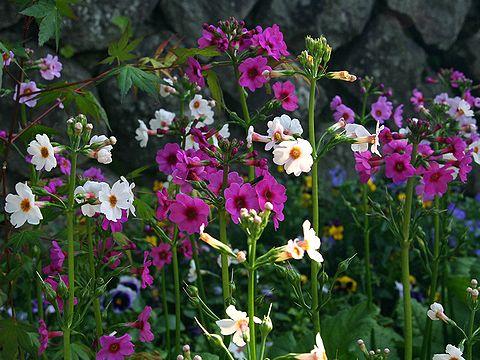 クリンソウ(九輪草)の花/グリーンエコー笠形