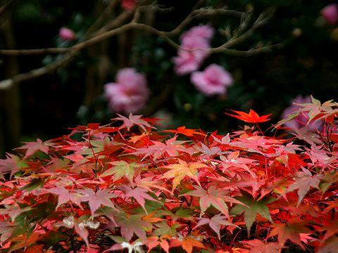 もみじの紅葉と山茶花の花・古法華自然公園/加西市