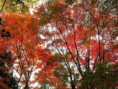 滝山城跡と城山周辺の紅葉/神戸市六甲山