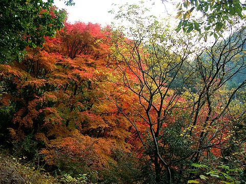 市ヶ原周辺の紅葉/神戸市六甲山
