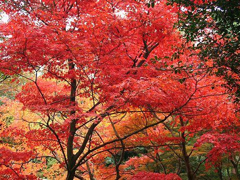 再度公園・修法ヶ原の紅葉/神戸市六甲山